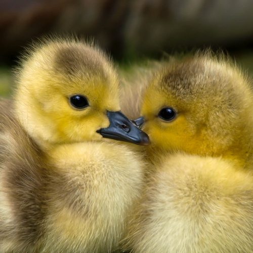 Photo of two baby ducks by Victor Burnside from Pexel